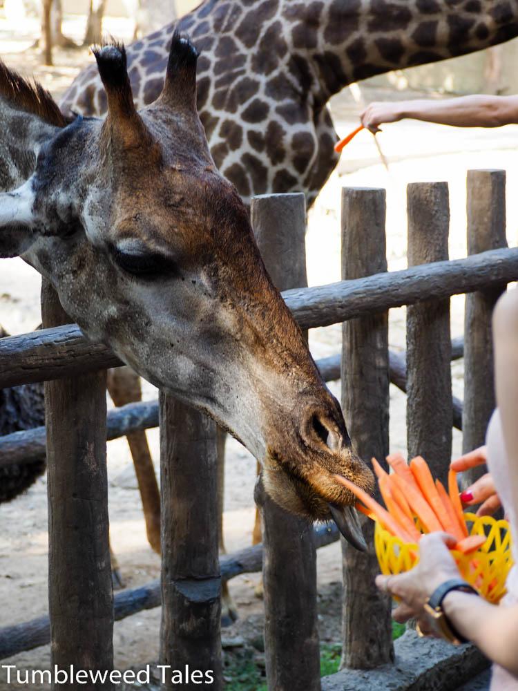 Giraffen stehen also auf Möhren