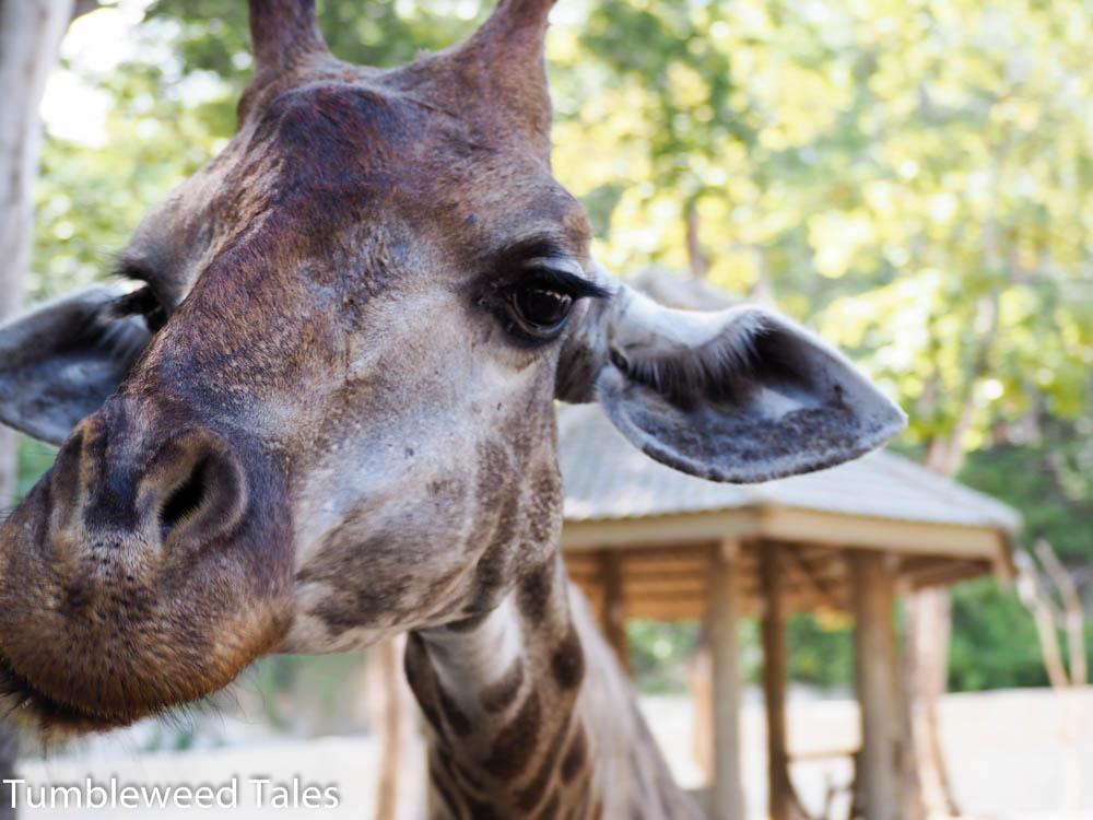 Die blöde Giraffe wollte einfach nicht stillhalten ;)