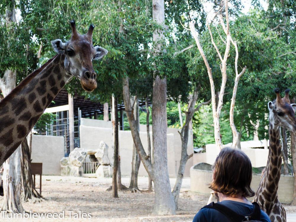 Nico flirtet mit der Giraffe