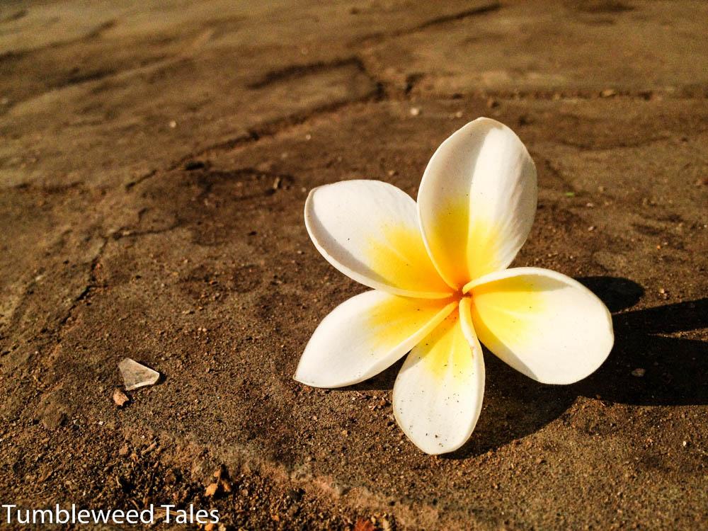 Eine Frangipani-Blüte auf dem Bürgersteig