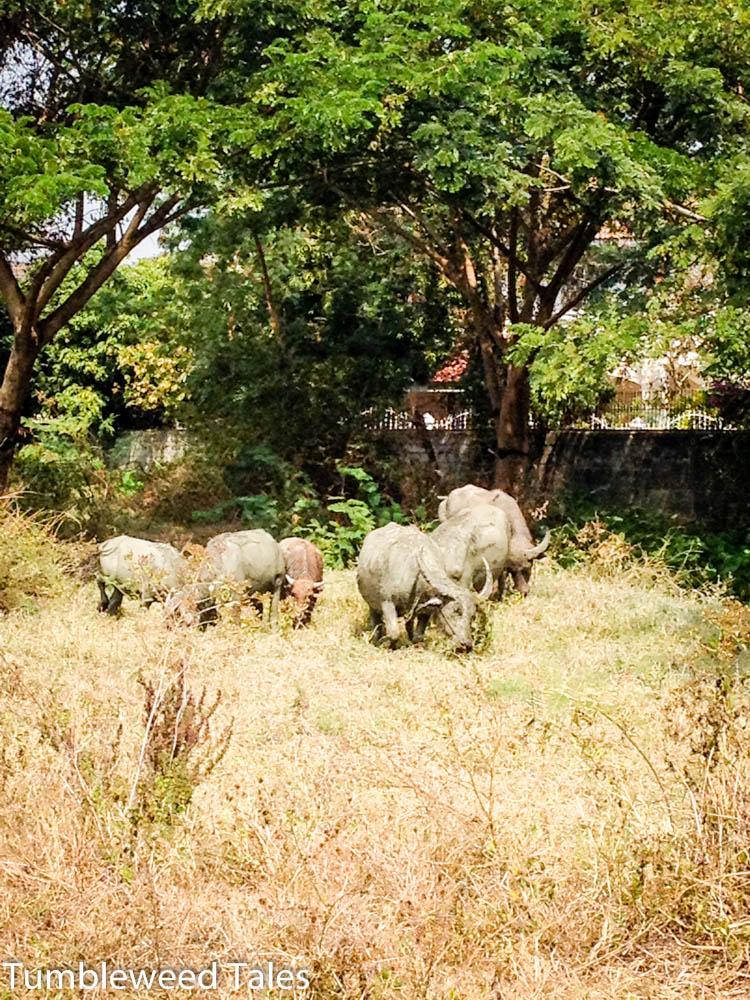 Wasserbüffel hinterm Moo Baan