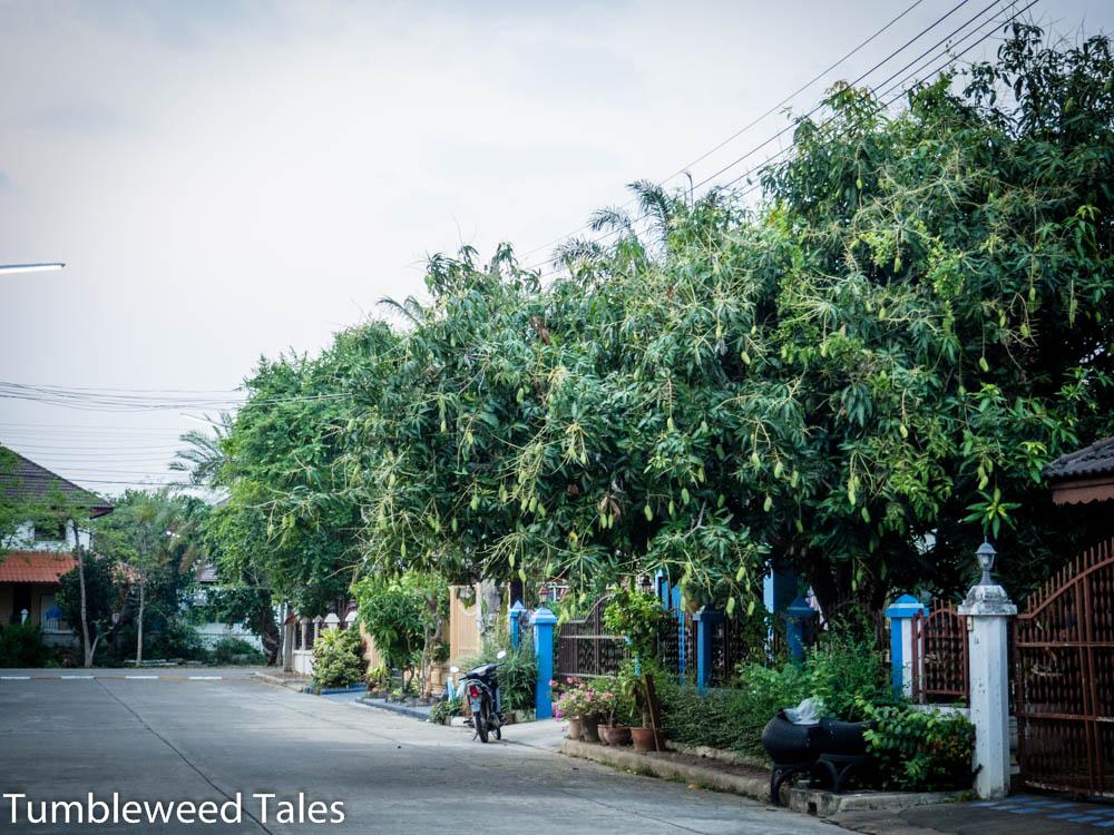 Mangos am Mangobaum. Sehen aus wie Weihnachtsdeko!