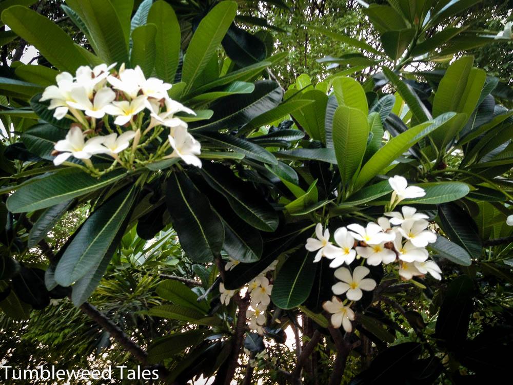 Frangipani-Blüten überall